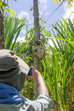 Traveller photographing a Young 3 Toed Sloth in it. Traveller photographing a young 3 toed sloth (Bradypus variegatus) in its natural habitat.  Photograph taken Stock Photography