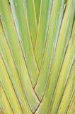 Traveller's palm Stock Photo