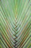 Traveller's Palm Stock Photos