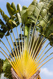 Traveller's Palm Royalty Free Stock Photo