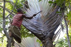 Traveller's palm (Ravenala madagascariensis) Royalty Free Stock Photography