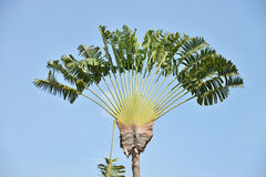 Traveller s Palm Tree Royalty Free Stock Photo