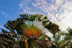 Traveller`s palm tree in Sayulita Nayarit, Mexico royalty free stock images