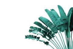 Traveller' s-Palme in blauer Tone Color Isolated auf weißem Hintergrund lizenzfreie stockfotografie