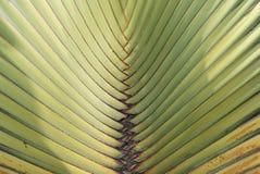 Traveller´s tree, Ravenala madagascariensis Stock Photos