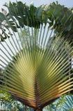 Traveller´s tree, Ravenala madagascariensis Stock Photo