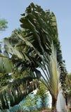 Traveller´s tree, Ravenala madagascariensis Royalty Free Stock Photos