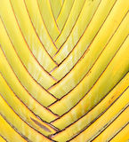 Traveller's tree (Ravenala),Texture of tree bark. Stock Images