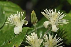 Travellers Joy. Flowers - Clematis vitalba Royalty Free Stock Photos