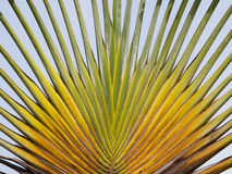 Travellers palm Stock Images