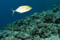Travelli on coral reef Stock Images