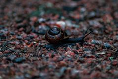 A travelling black snail stock photo