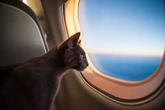 Travelling cat. Russian blue cute cat portrait Royalty Free Stock Image