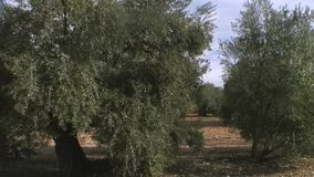 Travelling or moving camera from a crop of olive trees stock footage