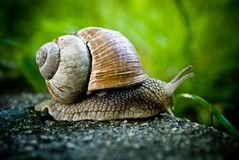 Travelling snail Stock Photography