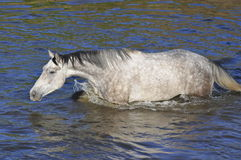 Traversa del cavallo bianco il fiume, acqua, nuotata Immagini Stock
