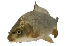 Traversa della carpa con i pesci di koi Immagine Stock
