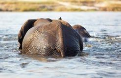 Traversata degli elefanti Fotografie Stock
