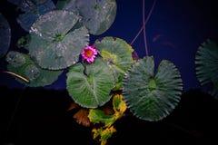 Travertini verdi con un singolo fiore di loto rosa Immagine Stock Libera da Diritti