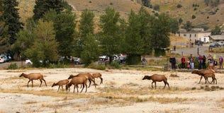 Travesía de los alces delante de una muchedumbre de turista en Yellowstone fotografía de archivo libre de regalías