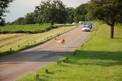 Travesía de los ciervos fotografía de archivo libre de regalías