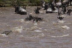 Travesía de río en el Masai Mara fotos de archivo