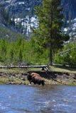 Travesía del búfalo Imágenes de archivo libres de regalías