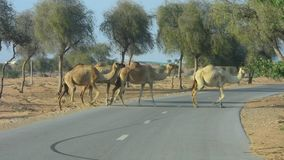 Travesía del camello: Guárdese de camellos flojos cerca del circuito de carreras del camello almacen de video
