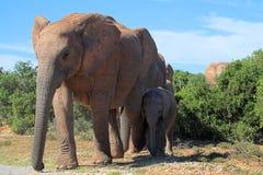 Travesía del elefante Imágenes de archivo libres de regalías