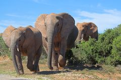 Travesía del elefante Foto de archivo libre de regalías