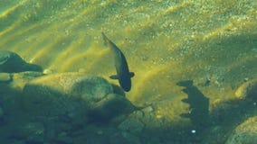 Travesías grandes mismas de la trucha alrededor en el río de Nueva Zelanda que busca la comida almacen de video