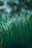 Traw dewdrops zdjęcie stock