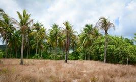 Traw drzewka palmowe w Phu Quoc i pole, Wietnam Fotografia Stock
