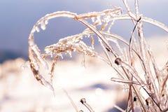 Traw gałąź marznąć w lodzie Zamarznięta trawy gałąź w zimie Obrazy Royalty Free