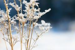 Traw gałąź marznąć w lodzie Zamarznięta trawy gałąź w zimie oddział objętych śnieg Fotografia Royalty Free