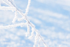 Traw gałąź marznąć w lodzie Zamarznięta trawy gałąź w zimie oddział objętych śnieg Zdjęcia Royalty Free