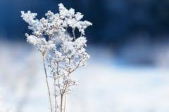Traw gałąź marznąć w lodzie Zamarznięta trawy gałąź w zimie oddział objętych śnieg Zdjęcie Royalty Free