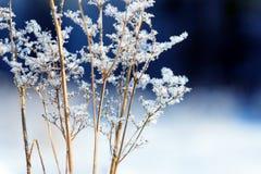 Traw gałąź marznąć w lodzie Zamarznięta trawy gałąź w zimie oddział objętych śnieg Zdjęcie Stock