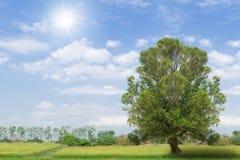Traw pola z drzewem przeciw Obrazy Royalty Free