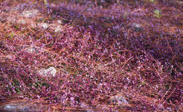 Traw purpury Obraz Stock