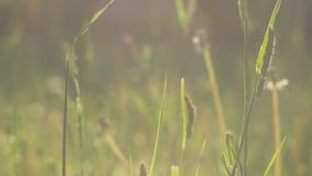 Traw słoma rusza się w drobnym wiatrze w słońca świetle, racy, zakończenie up, zielenieją zamazanego tło, wieczór, 4K 3840, 2160  zdjęcie wideo