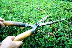 Traw strzyżenia z drewnianą rękojeścią na Hokkien herbaty ogrodzeniu azjatykcimi kobiet rękami fotografia stock