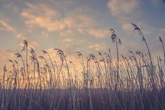 Traw sylwetki w ranku wschodzie słońca Zdjęcie Royalty Free
