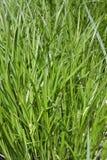 trawa bez leczenia Zdjęcie Royalty Free