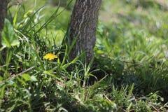 Trawa, Dandelions i Popielaty Drzewny bagażnik, zdjęcia stock