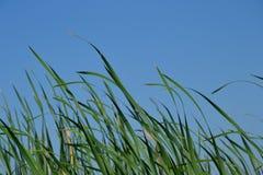 Trawa dolina lotuses Zdjęcie Royalty Free