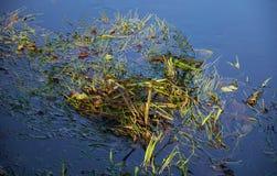 Trawa i jesień liście w wodzie Obraz Royalty Free