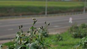 Trawa i kwiaty r blisko drogowego ruchu drogowego ruchu drogowego samochody pszczoła zapyla kwiaty obok autostrady Autobahn zdjęcie wideo
