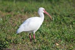 trawa ibis Fotografia Royalty Free