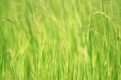 Trawa jest świrzepą w średniorolnej ` s fabule Zdjęcie Royalty Free